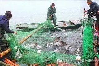 高温期捕捞成鱼注意四点