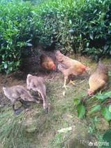 桃树林下养土鸡除草除虫不花钱