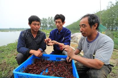 """安徽:小龙虾 游出富民""""大产业"""""""