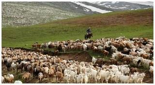 羊肉为什么有膻味?