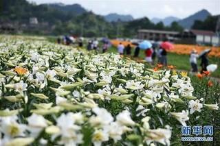 亚洲百合种植养护技巧