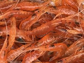 """脊尾白虾""""科苏红1号""""新品种上市"""