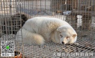 新疆大学生回乡创业 养殖狐狸收益多