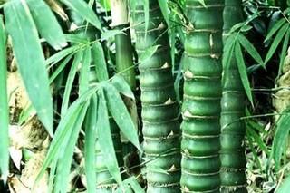 龟甲竹几月移栽好