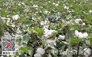 乙酰甲胺磷在大田作物上的应用