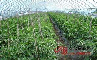 温室蔬菜喷肥四招