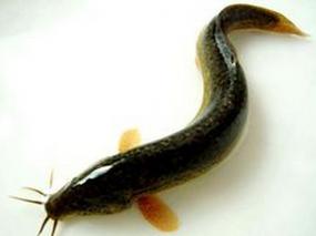 泥鳅滑液的功效与作用