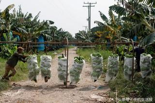 老挝香蕉出口下降