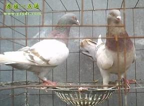 肉鸽的繁育技术要点