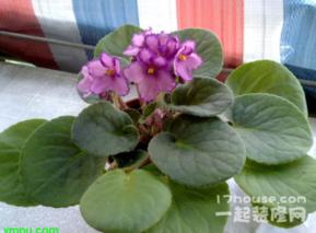 紫罗兰养护技巧