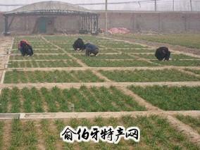 平乡冬小麦