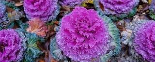 羽衣甘蓝的盆栽养护方法