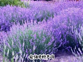 法国薰衣草