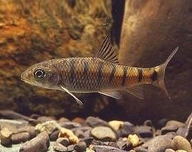 武夷石斑鱼