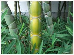 龟甲竹的种植技术方法