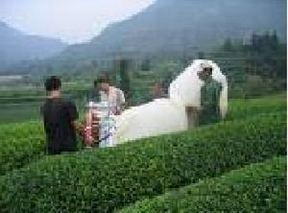 白毛猴茶的加工制作工艺