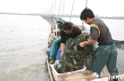 成鱼捕捞-流水刺激捕捞法