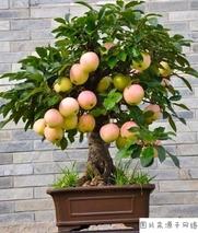 矮化苹果树的种植技术