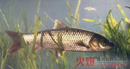 草鱼养殖注意五点