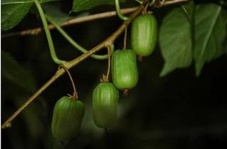 狗枣猕猴桃的功效与作用