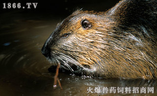 饲养海狸鼠夏季和冬季有何管理诀窍?