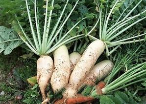 白荔子萝卜