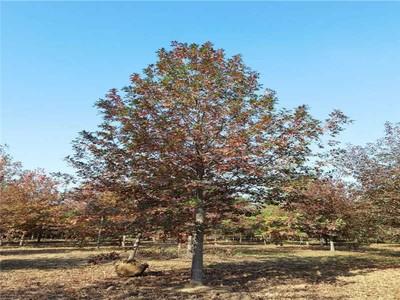 娜塔栎种子怎么育苗