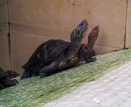 龟鳖行业 将迎来三大发展机遇!