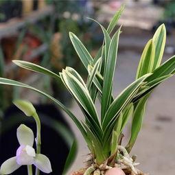 金边兰花有几个品种?金边兰花哪个品种好?