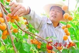 临泽县鸭暖镇:杏子熟了 游客来了