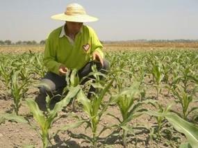 玉米主要病虫害要这样防