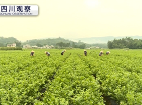 春茶种植莫轻视防寒工作