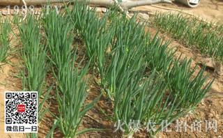 小葱分葱细香葱的栽培方法