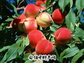 大卓水蜜桃