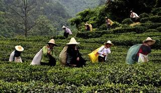 祁门红茶环境和采制