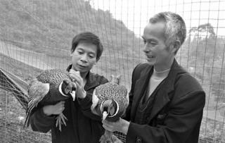 广西陶坡村农民养殖七彩山鸡致富
