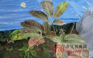 豌豆立枯病防治方法