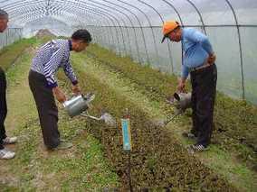 在大棚中 如何才能更好的培育甘蔗苗?