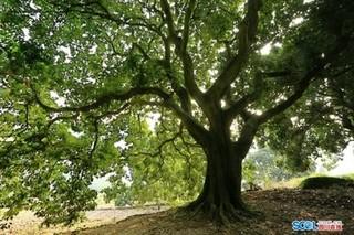 泸州通滩有片大红袍荔枝林 247株古树树龄均超百年