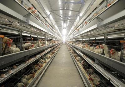 新疆洛浦智能化养鸡场开启现代养殖致富路