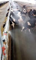 京郊奶牛场装上降温阀