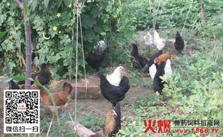绿壳蛋鸡的人工孵化技术——孵化