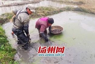 扬州选育出高产荸荠新品种