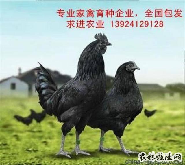 黑凤乌鸡高效养殖技术