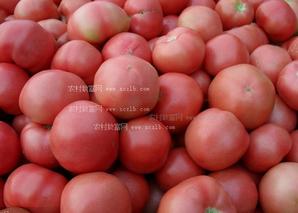 番茄贮藏简易技术