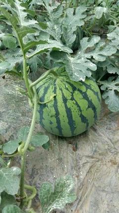 贵州大坝:蔬菜住进智能大棚