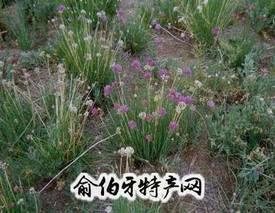 内蒙古沙葱