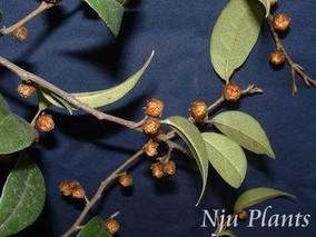杨梅叶蚊母树根的功效与作用