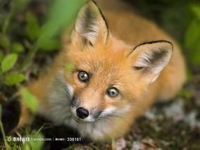 赤狐(别名:狐狸,火狐狸,犬 科)
