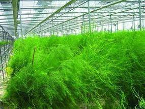 芦笋的肥水栽培